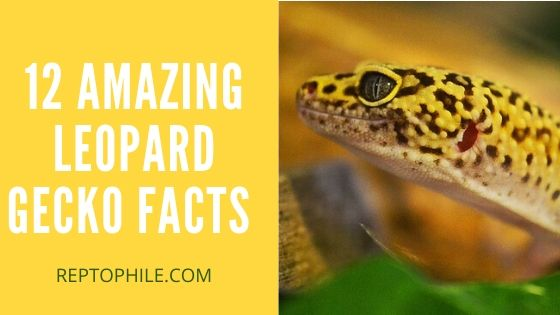 12 Amazing Leopard Gecko Facts That You Probably Didn't Know