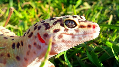 cool leopard gecko facts