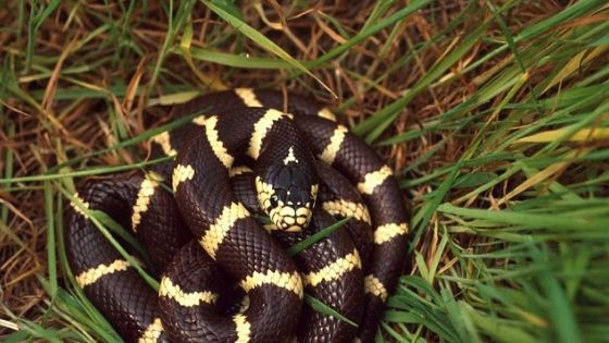 What Do Kingsnakes Eat?