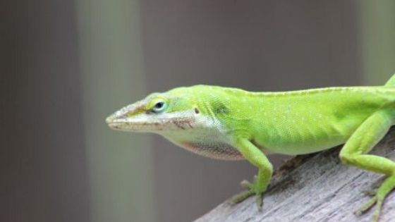 Green Anole Diet – A Complete Feeding Guide
