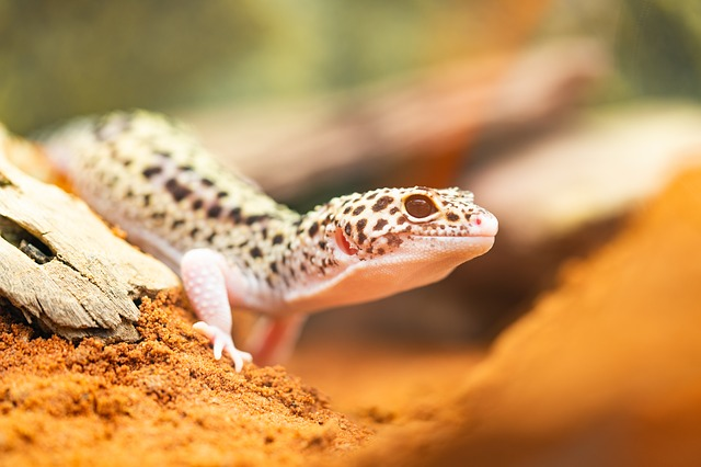 leopard gecko friendly